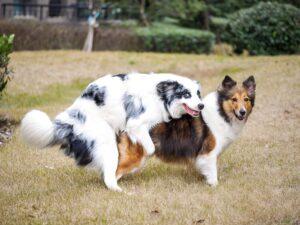 Dog Mounting